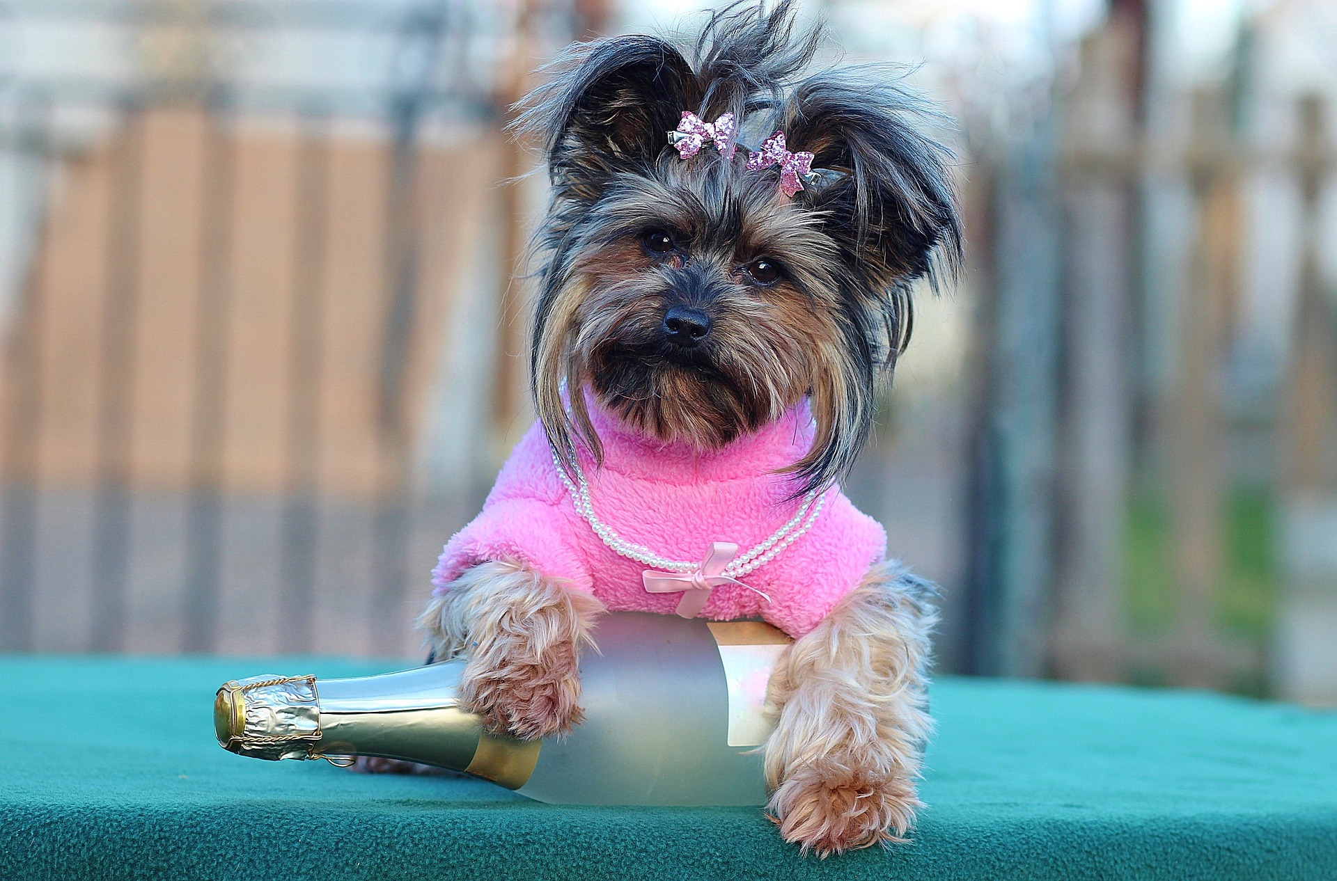 Lovely Yorkie in Pink Blouse